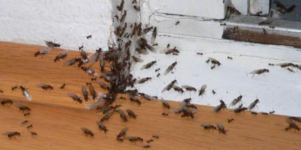 Formica Carpentiere Conosci Il Tuo Nemico Per Eliminarle