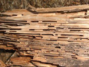 legno danneggiato da formica carpentiere