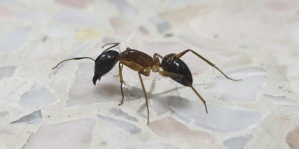 formiche in casa